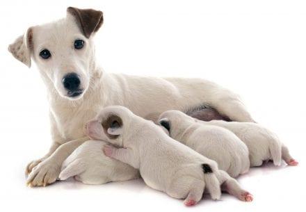 puppymilk - Family-jack-russel-terrier-iStock-491965775.jpg